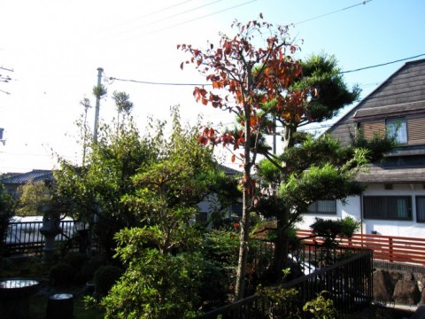 2016A-Y邸マキ剪定前