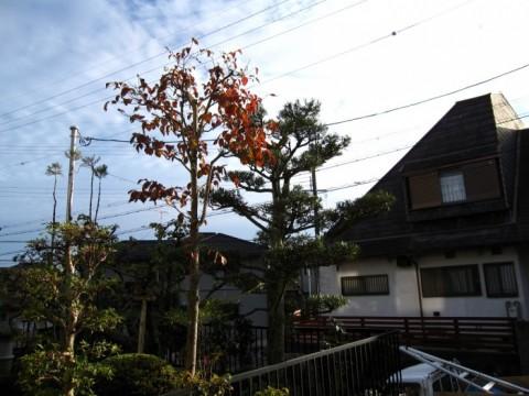 2016A-Y邸マキ剪定後