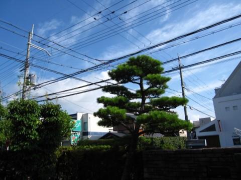 2015夏Y邸黒松剪定前 (1)